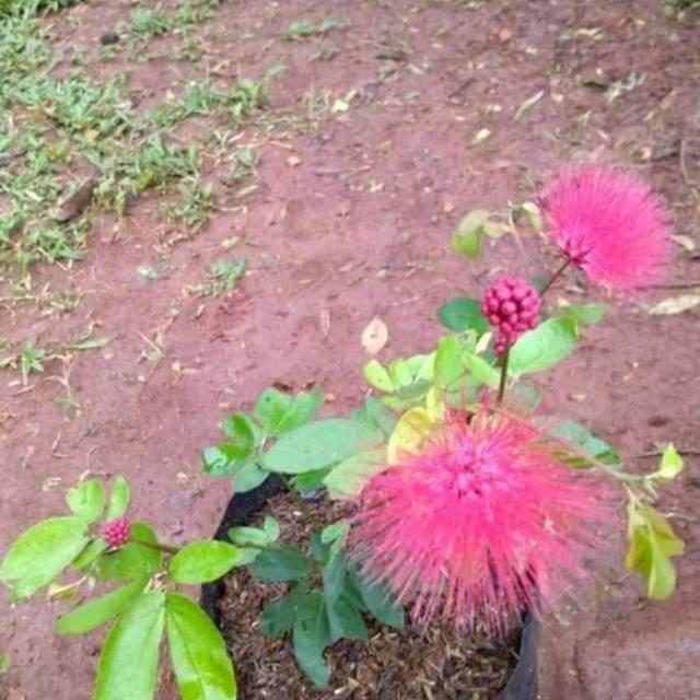tanaman kaliandra